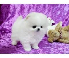 Pui frumoși Pomeranian disponibile