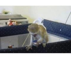 maimuțe capucine bărbați și femele bine antrenate pentru adoptarea x mas
