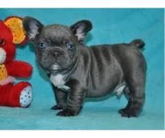 Catelusii bulldogi francezi pentru adoptie