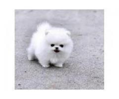 Bărbat Pomeranian fără valoare pentru adopție