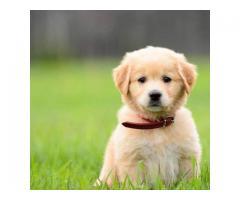 Păpuși Golden Retriever Disponibili pentru adopție