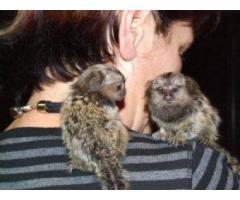 frumoase maimuțe marmoset deget pentru adopție