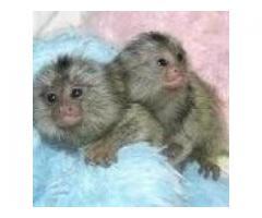 maimuțe afectuoase marmoset pentru adopție