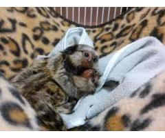 Maimuță Pymmy Marmoset Disponibil pentru Crăciun