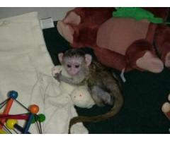 Maimuțe sănătoase bine socializate pentru X-Mass