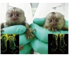 Adorabile maimuțe Marmoset pentru adopție