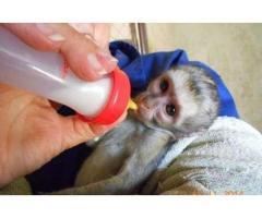 Scutec == == Instruit Capucinilor == == Maimuță pentru adoptare ==